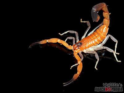 Rhopalurus Scorpion
