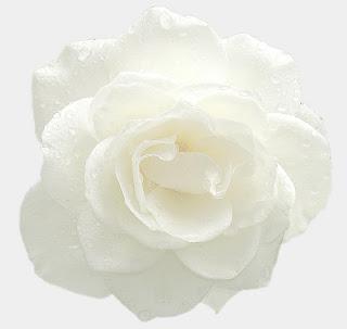 rosa blanca en fondo blanco