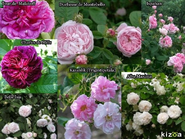 ma plan te jardin des rosiers anciens tr s parfum s de la. Black Bedroom Furniture Sets. Home Design Ideas