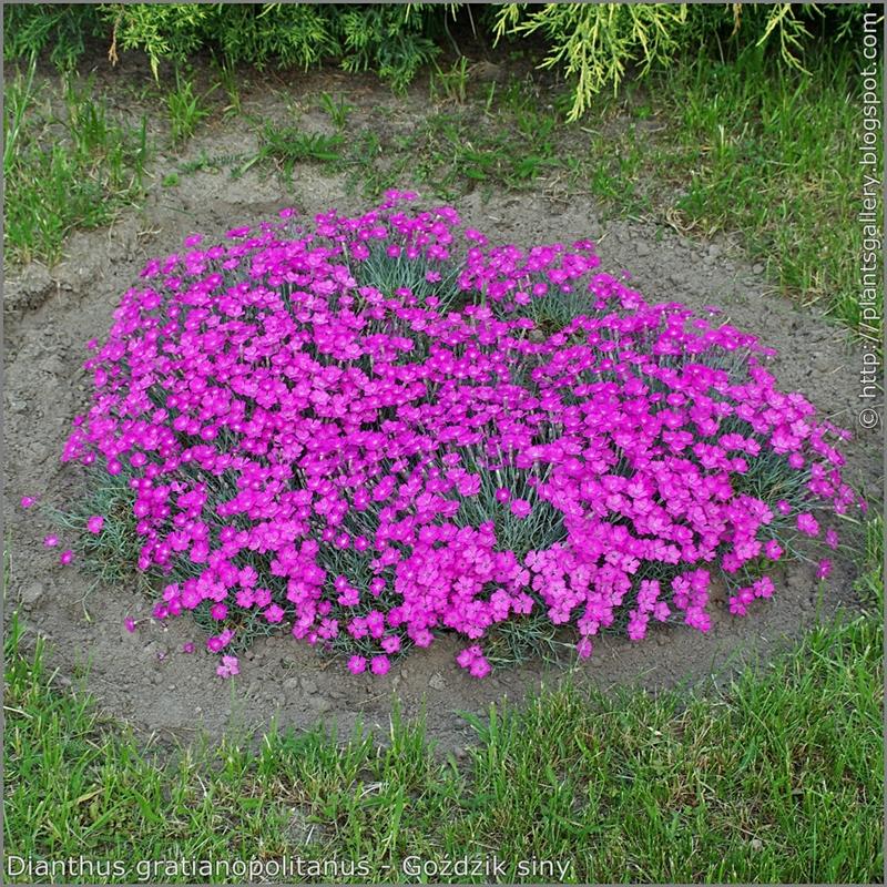 Dianthus gratianopolitanus habit - Goździk siny pokrój