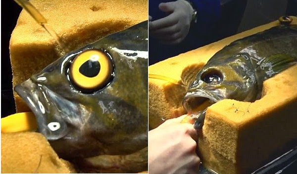 http://www.bendbulletin.com/nation/2764189-151/seattle-aquariums-glass-eyes-help-protect-fish-from