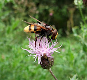 With a body length of 1622 mm, the hornet hoverfly (Volucella zonaria) is .