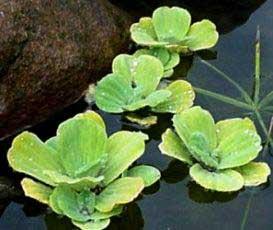 Plantas mi vivero plantas acuaticas for Vivero mi planta