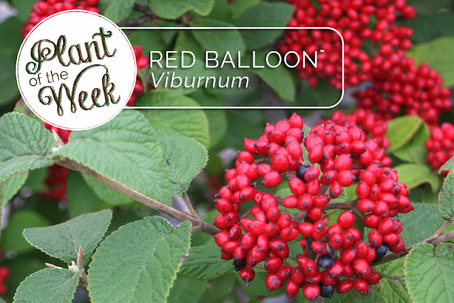Red Balloon Viburnum from Proven Winners
