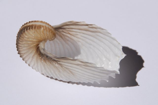 paper nautilus shell for sale The shell, created by the female argonaut to house and hatch her eggs is abandoned once the hatching has taken placeand can then become the rare and special find of the enthusiastic paper-nautilus shell collector.