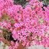 Cách chăm sóc hoa đỗ quyên