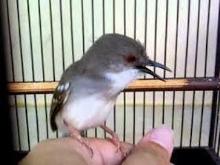 Burung Ciblek : Burung Kicau : Tips Merawat Burung Ciblek Untuk Pemula