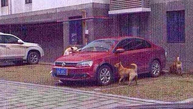 Gangue de cachorro destroi carro