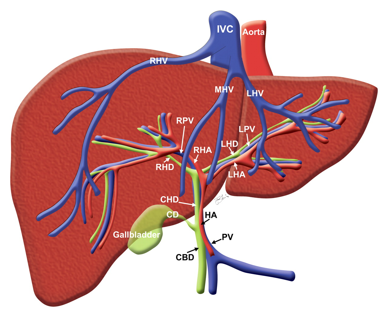 Liver location anatomy