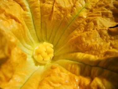 fleur de citrouille