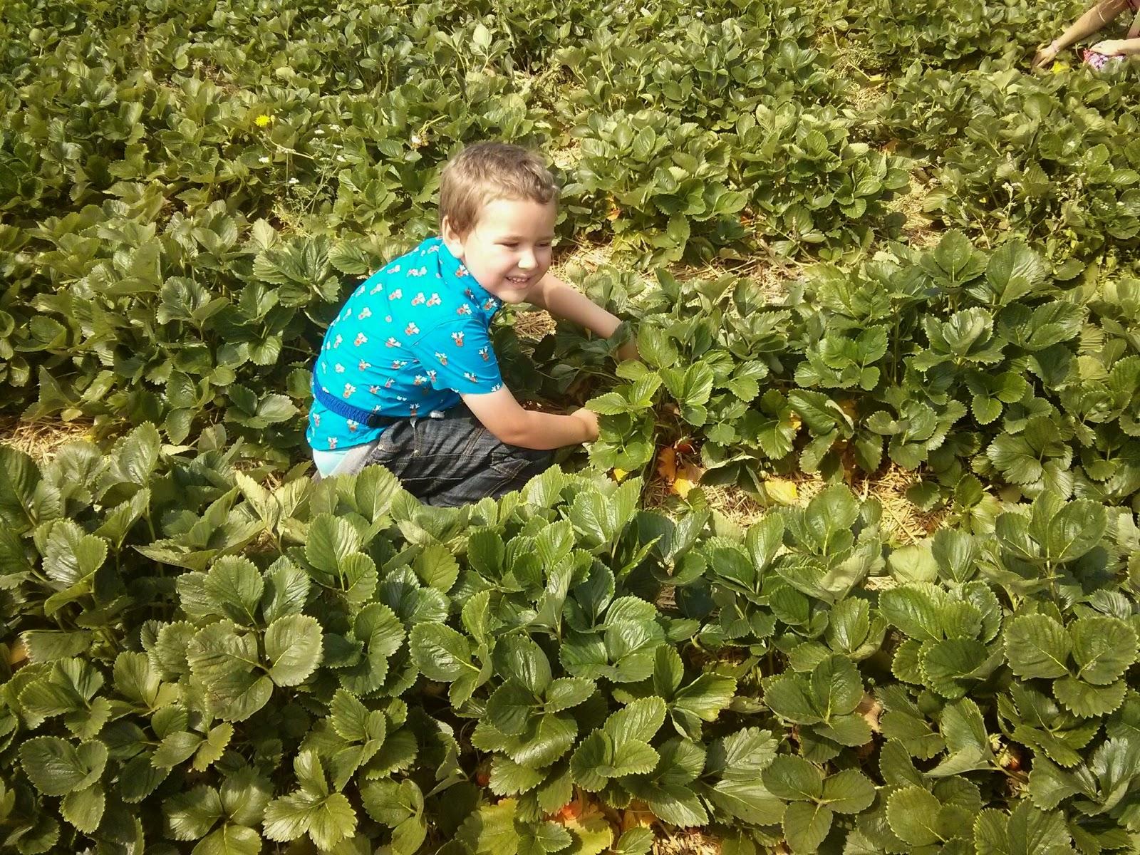 Big Boy picking Strawberries