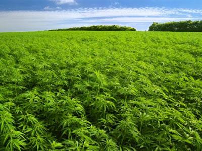 Plantación de marihuana contra desastres