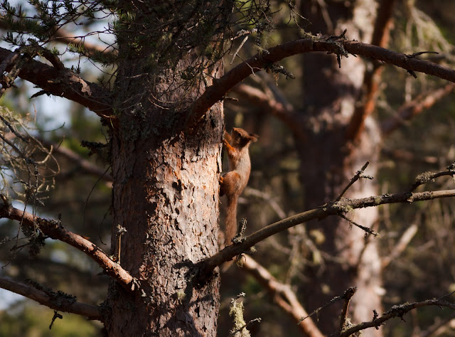 Red Squirrel, Scotland