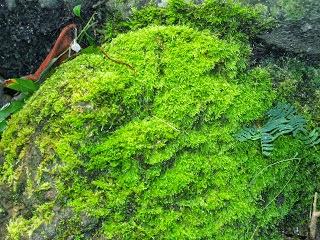 Manfaat tumbuhan lumut Bagi Kehidupan Manusia