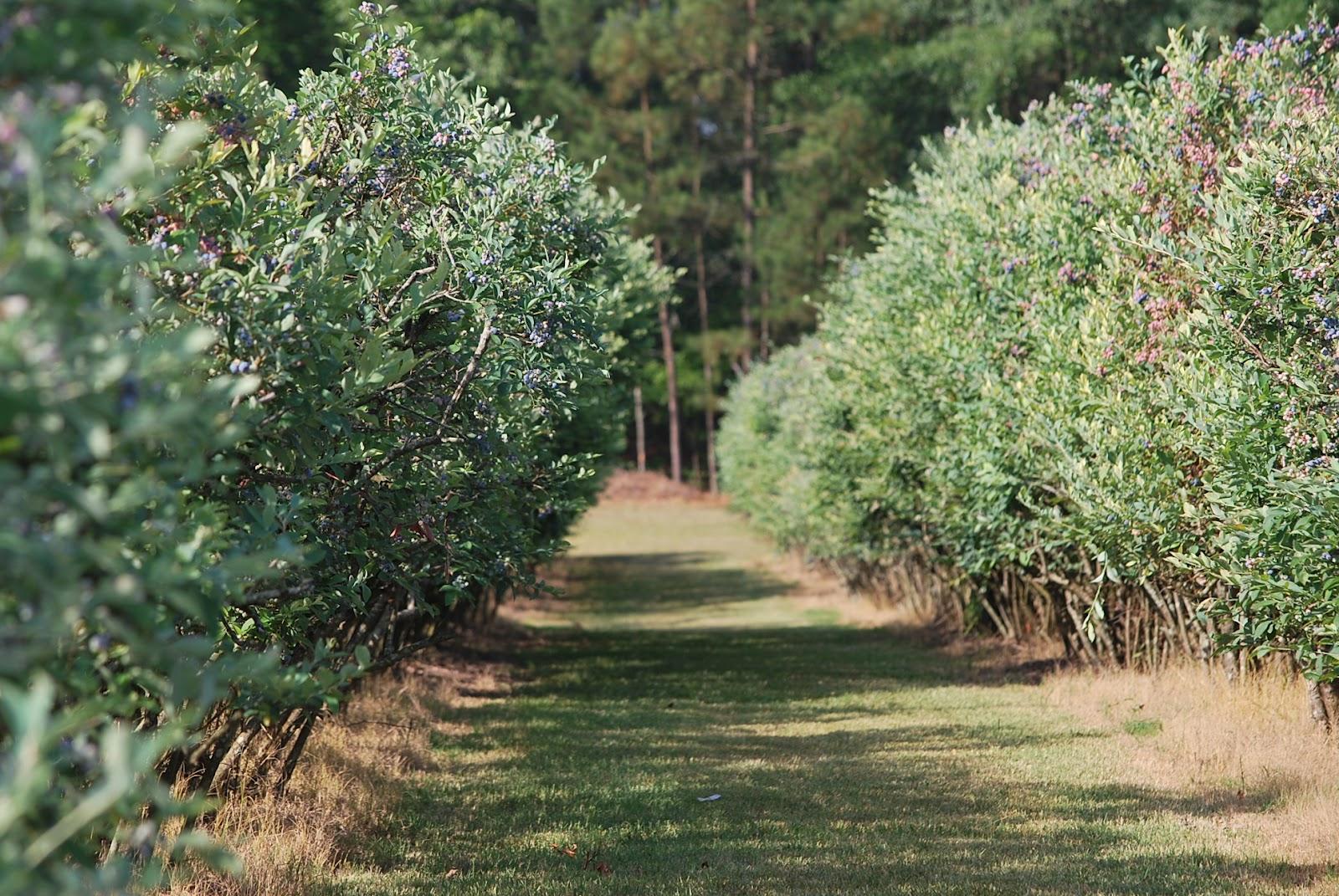 Blueberry Bushes Varieties