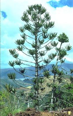 Araucaria gobernadora Araucaria rulei