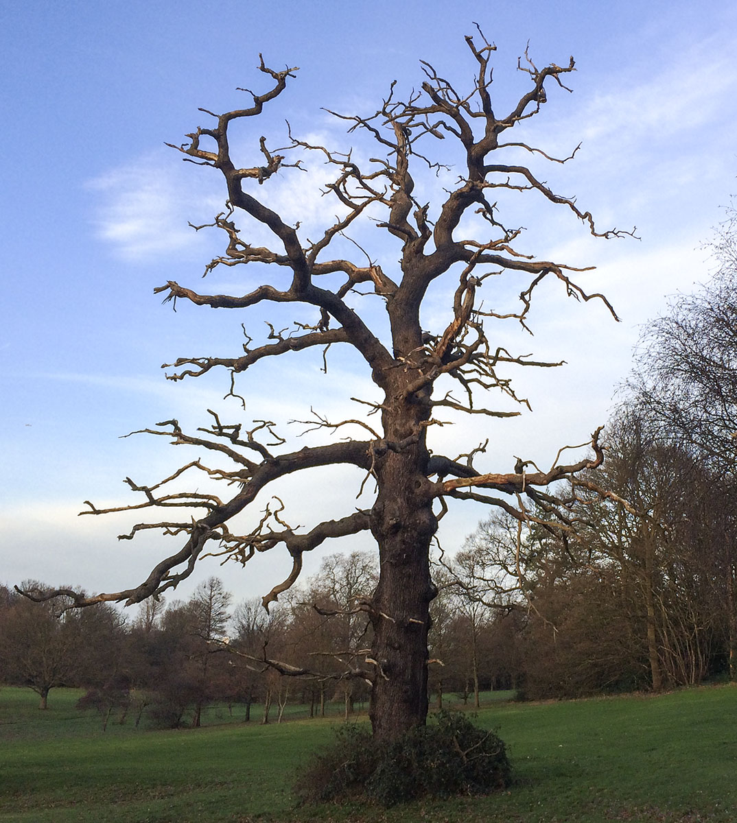 Dead oak in Beckenham Place Park, 20 December 2013.