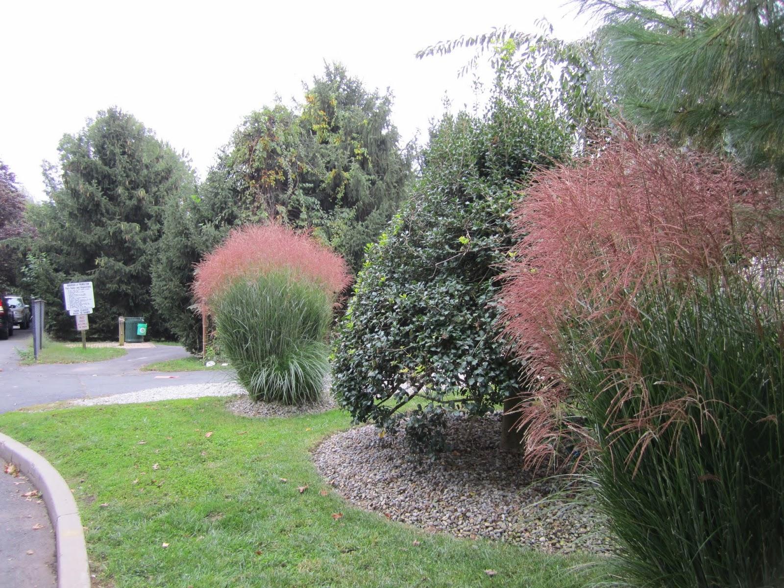 Maiden grass miscanthus sinensis princeton nature notes for Maiden grass