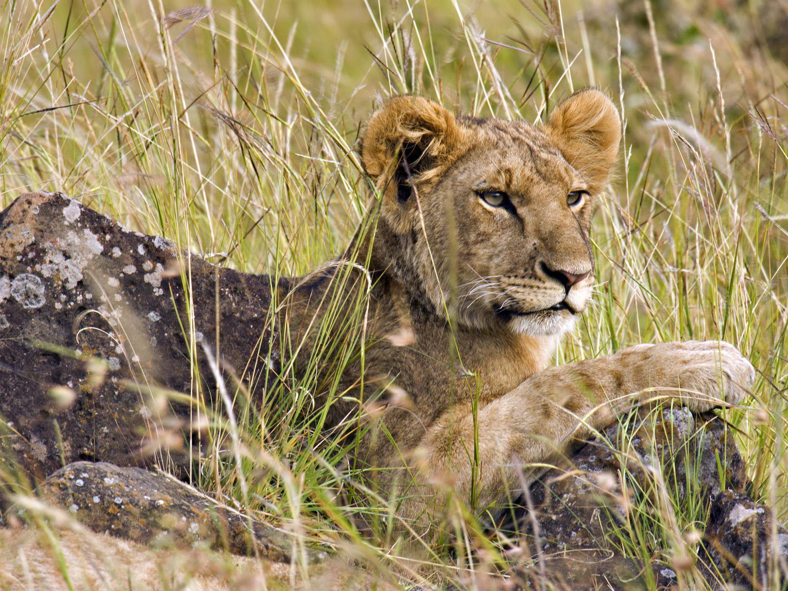 http://1.bp.blogspot.com/-nKtpsbYQNQE/UFbqdC9_DoI/AAAAAAAAFJI/53VyrXBxzBo/s1600/lion+wallpaper+45.jpg