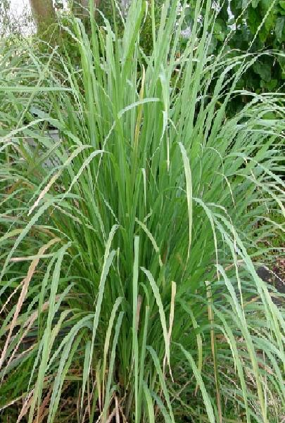 antibacterial property of lemongrass leaves cymbopogon Body odor: lemongrass is used in the manufacturing of deodorants due to its cleansing and antibacterial properties which help to combat unpleasant body odor and prevent fungal and bacterial.