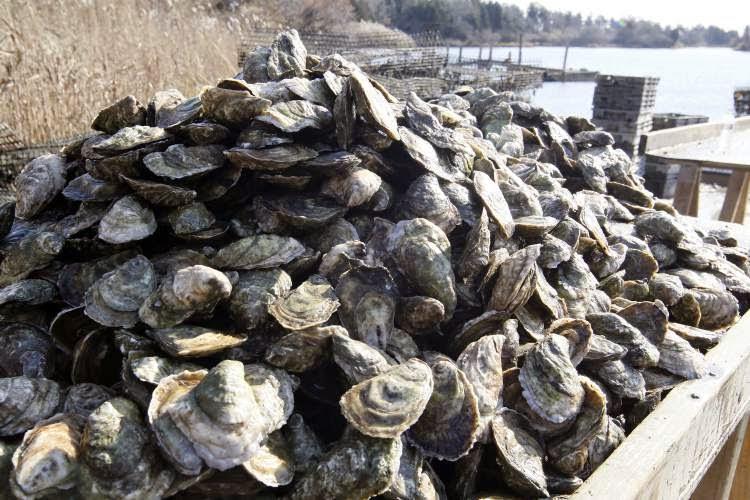 rhode island oyster industry