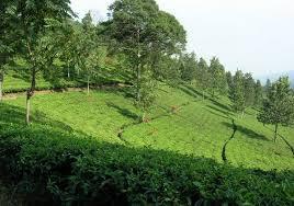 Kebun teh di Agro wisata gunung Mas