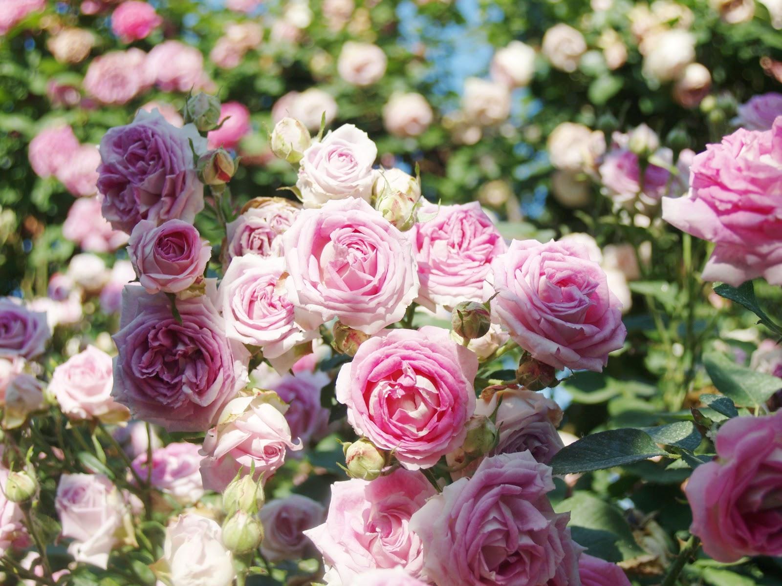 Il giardino delle rose antiche at home - Giardino con rose ...
