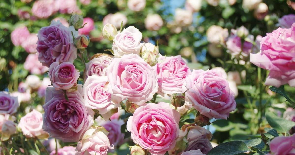 Il giardino delle rose antiche at home - Il giardino delle rose ...