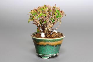 チリメンカズラ-H1(縮緬葛 豆盆栽)Chirimen kazura bonsai