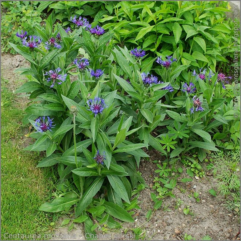Centaurea montana - Chaber górski