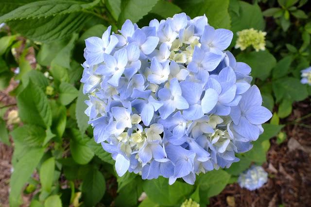 Gene's Garden: Hydrangea Season
