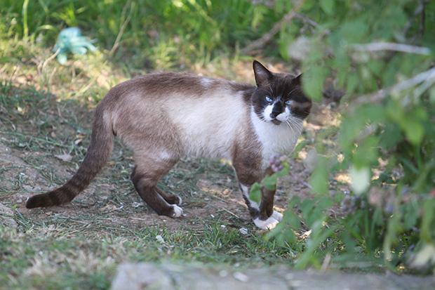 Quando soltos no meio ambiente, felinos voltam a caçar, como manda seu instinto (foto: Valquir Aureliano)