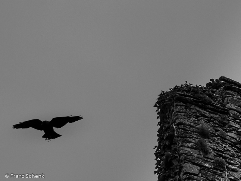 Raven at Ballycarberry Castle, Wild Atlantic Way