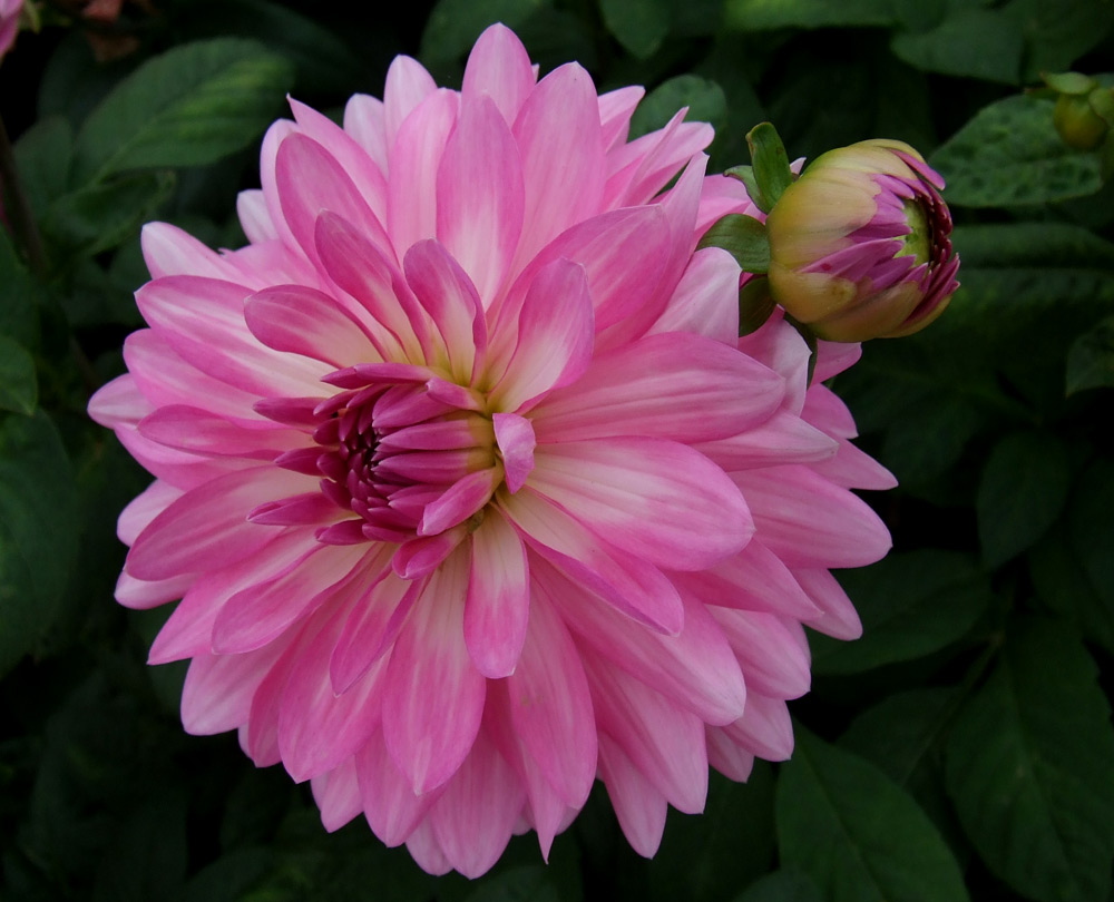 Pictures Of Dahlia Flower Kidskunstfo