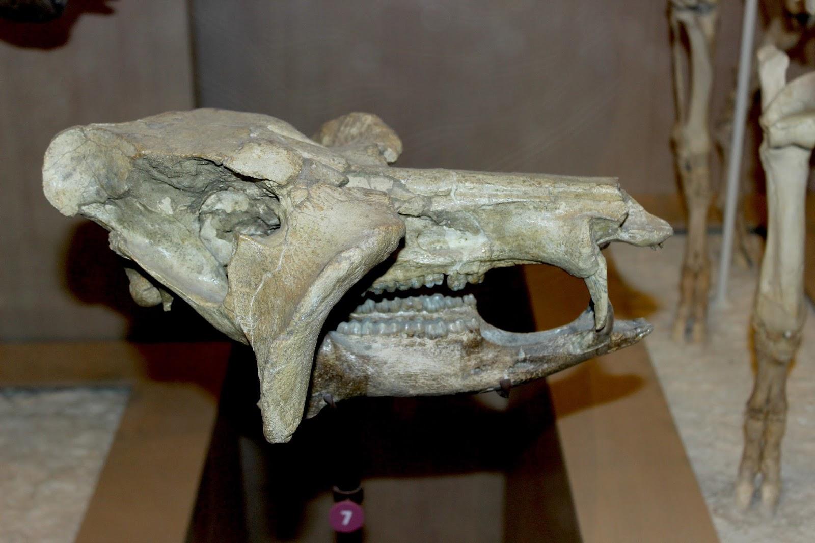 Macrogenis+crassigenis+extinct+fossil+pe