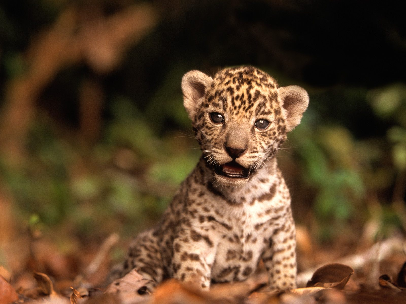 Jaguar Animal Wildlife