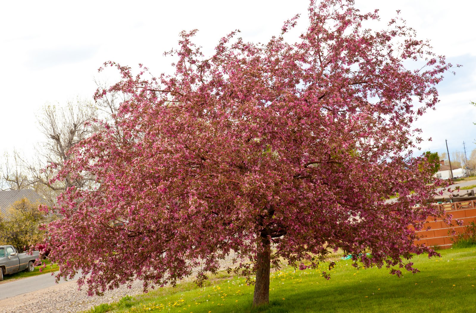 Lowe family blog flowering crab apple tree for Crabapple tree