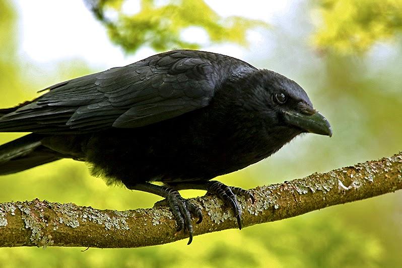 Fotos - Bilder - Tiere - Tierfotos - Vögel - Vogelfotos - Rabe
