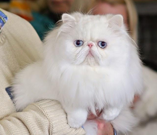 De pequeño son difíciles de distinguir de otros ya que los persas de pelo largo suelen nacer todos con ojos azules. Su origen está en Reino Unido.