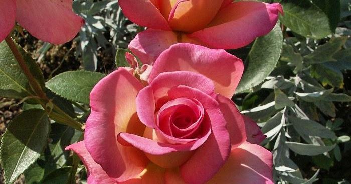 Les rosiers flore de l le de la r union for Entretien jardin reunion