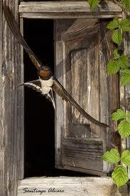 Quisiera ser golondrina para volar de rama en rama y darte los buenos días entrando por tu ventana.