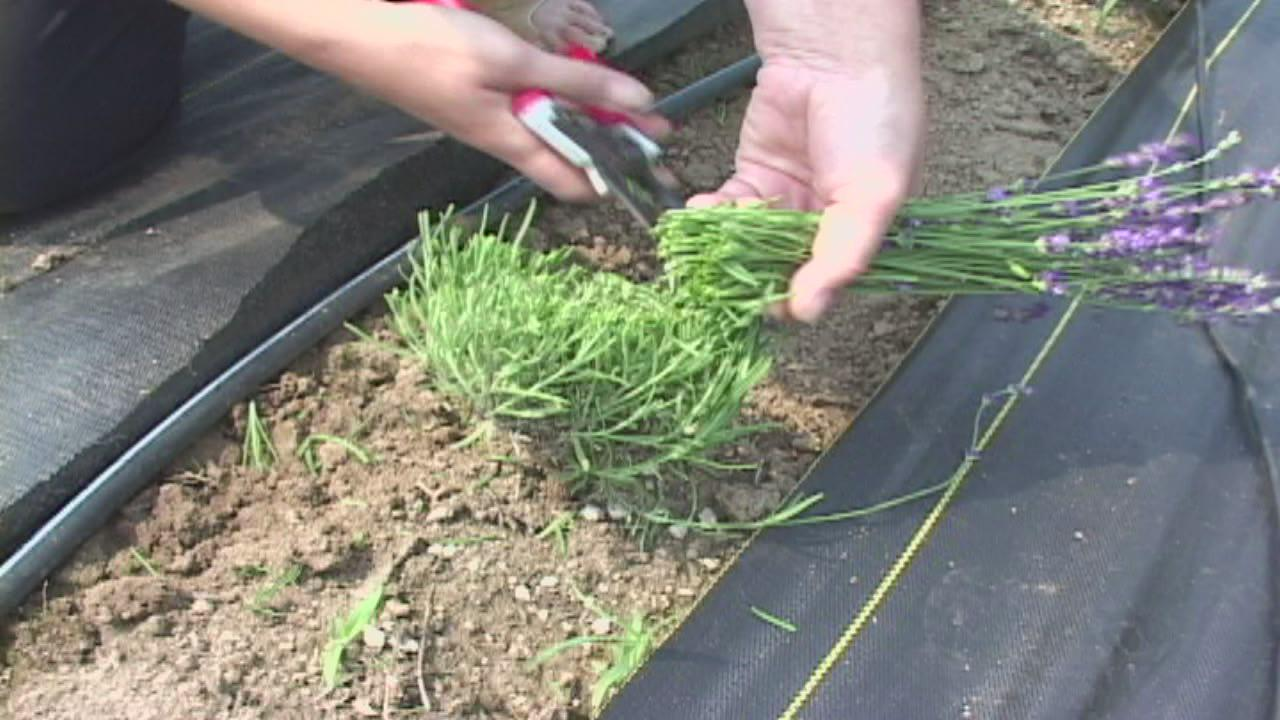 Seed to feed me how to grow lavender - Growing lavender pot ...