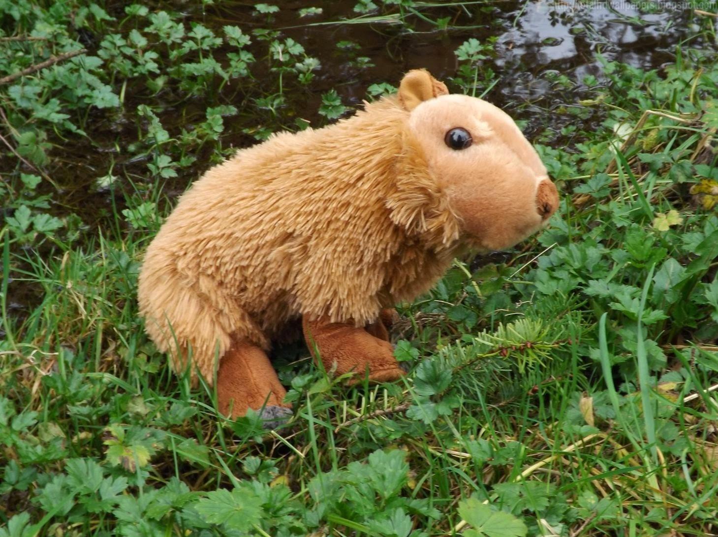 capybara wallpaper pool - photo #47