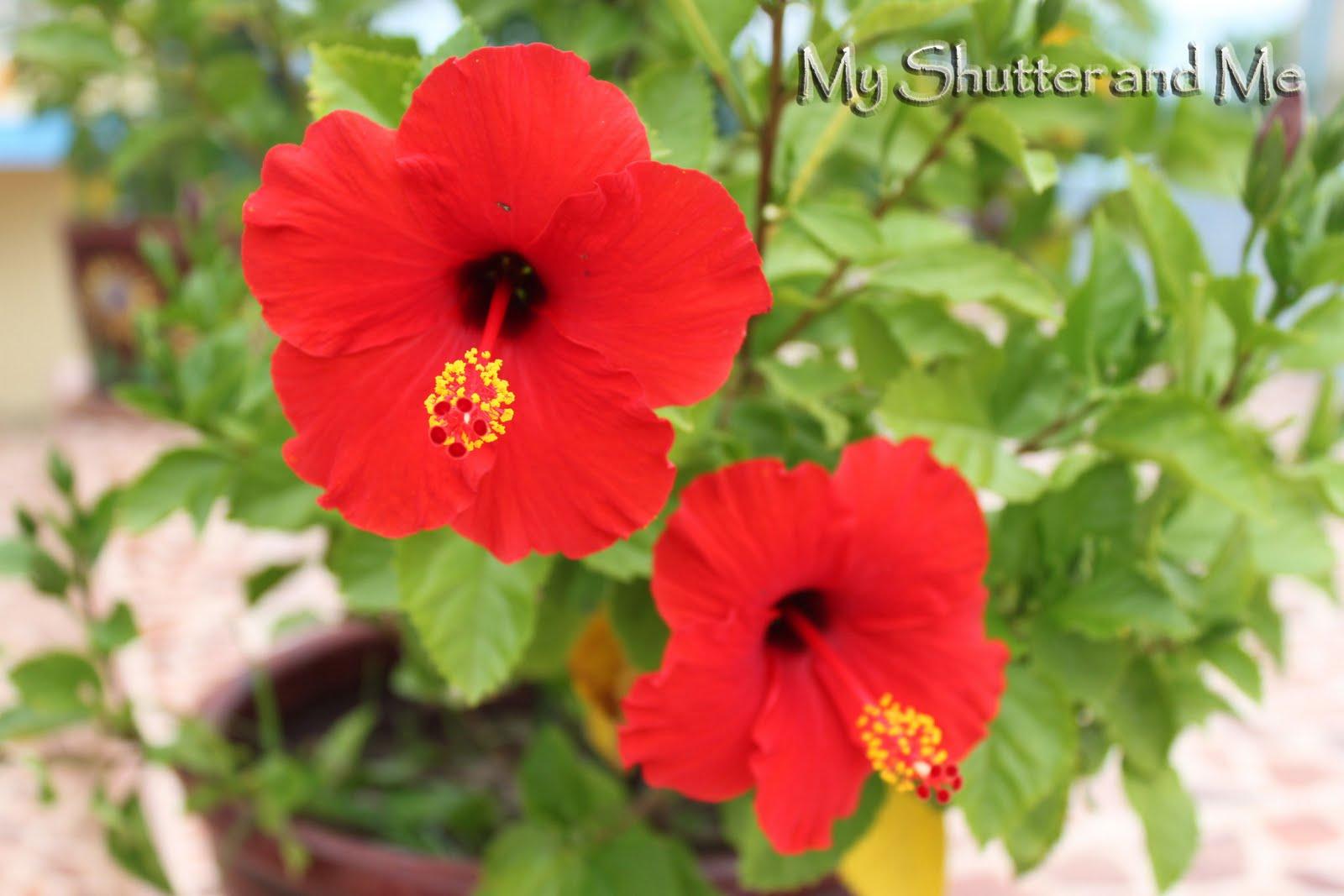 Jamaica national flower hibiscus image collections flower wallpaper hd my shutter and me hibiscus izmirmasajfo izmirmasajfo