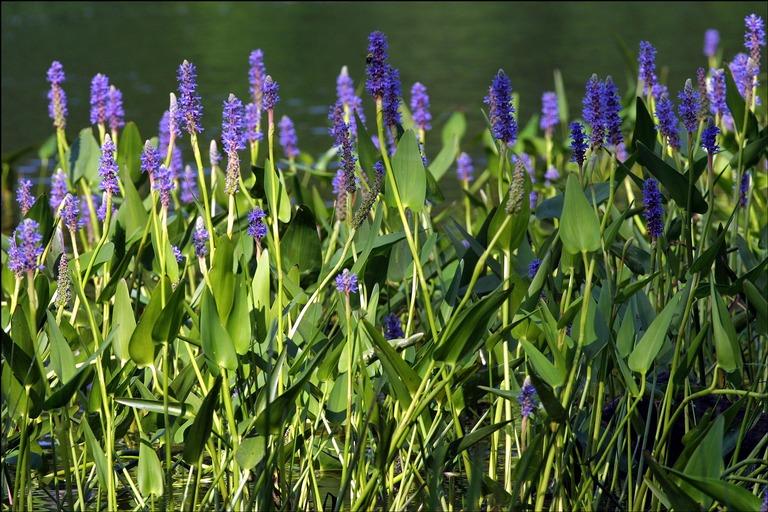 Quelles plantes aquatiques choisir pour votre jardin blog habitat - Plante pour bassin ...