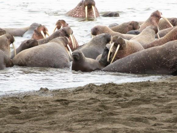 Punca 35 000 ekor walrus terdampar di pantai Alaska