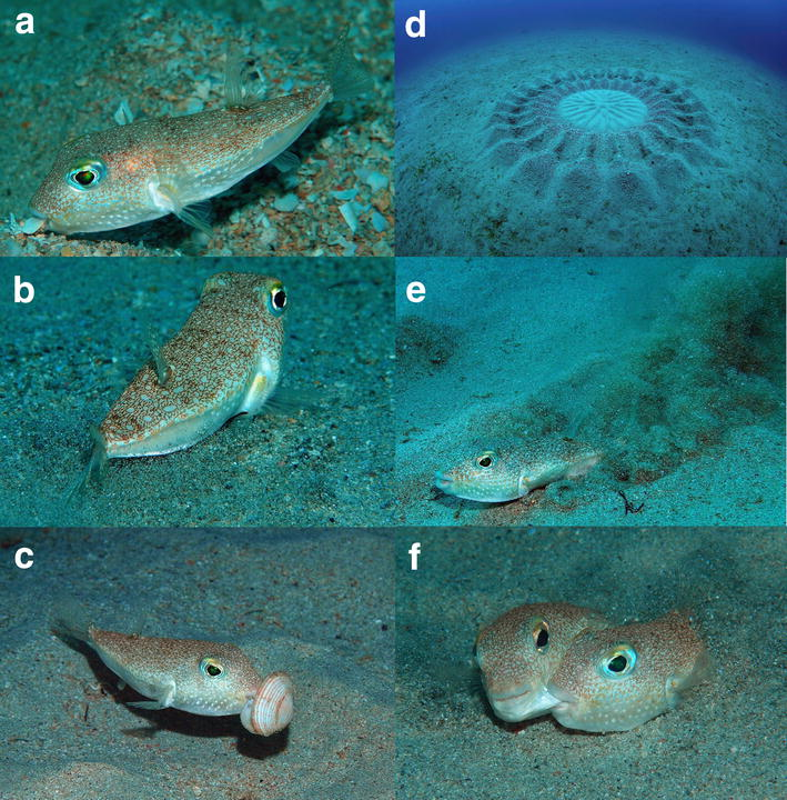 Species new to science ichthyology 2014 torquigener for Japanese puffer fish