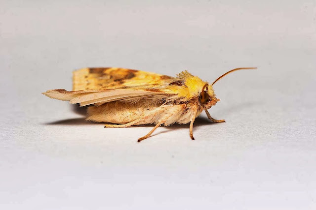 The Sallow side view