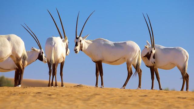 Linh dương sừng thẳng Ả Rập, dubai, du lịch, bảo tồn, quý hiếm, trải nghiệm, khám phá