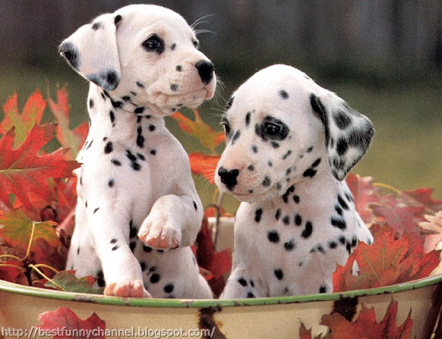 Two Dalmatians puppies.